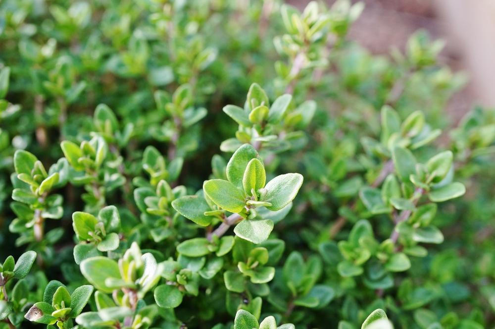 Thyme in an herb garden
